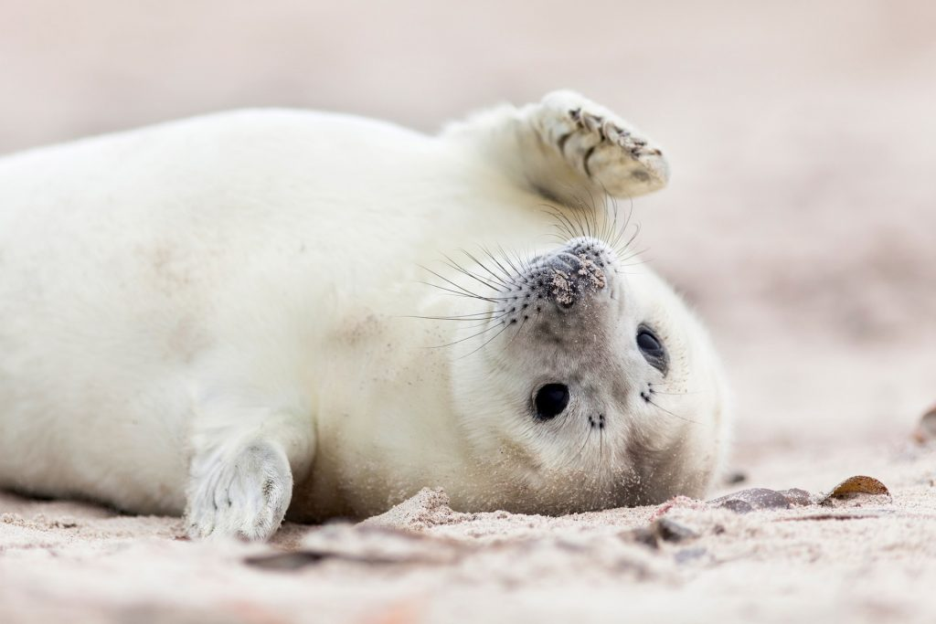 Baby Seals HD Wallpapers New Tab Theme