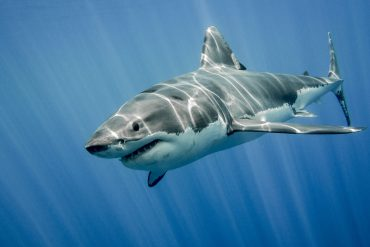 The great white shark in the big blue waters