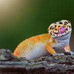 Care Sheet for a Gecko Lizard