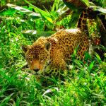 Jaguar HD Wallpapers New Tab